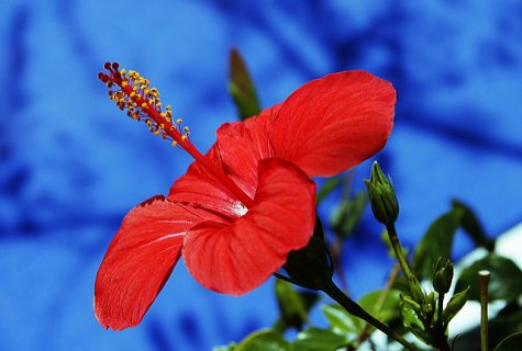 Red against a blue background makes the flower really stand out.