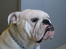 An english bulldog with a severe underbite.