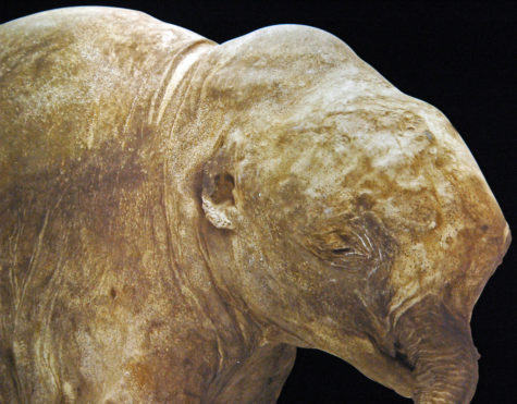 A preserved baby Woolly Mammoth, an ancient remain from a time period of ice estimated 40,000 years ago.